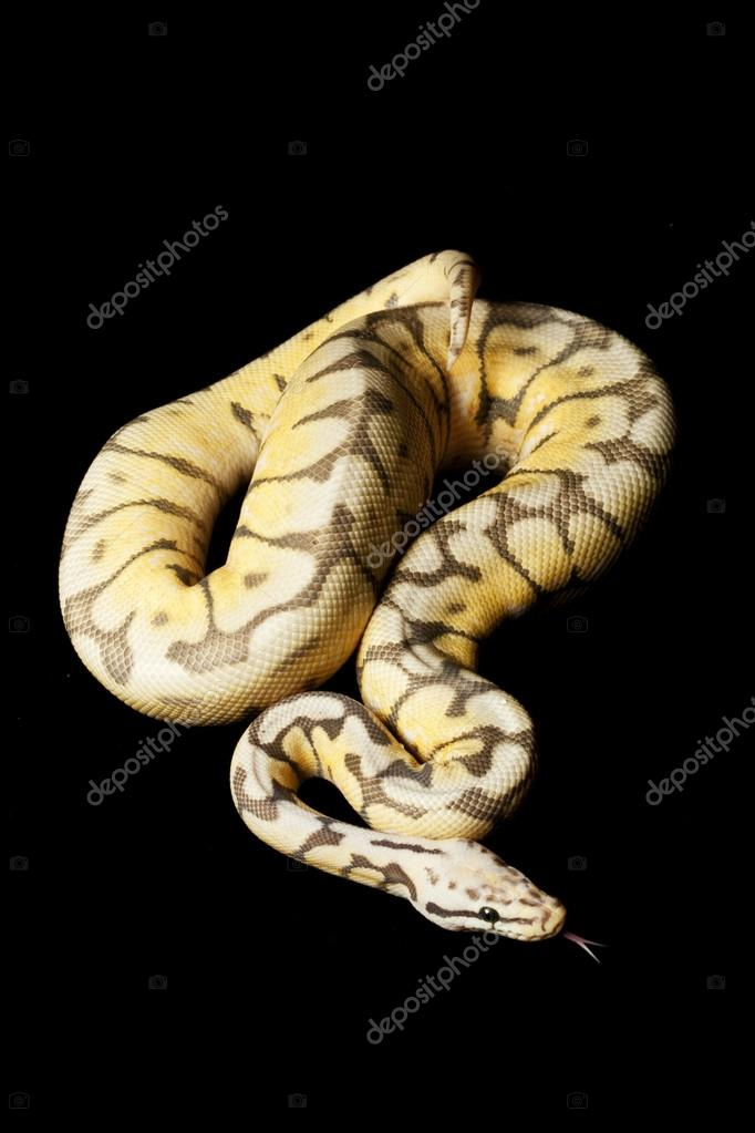 Lesser Bee Ball Python Woma lesser bee...