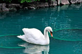 A lone swan — Stock Photo