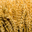 Bunch of wheat — Stock Photo