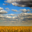 Corn field with blue sky and white clouds — Stock Photo