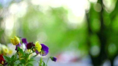 Cámara de 35mm super - coloridas flores en primavera — Vídeo de stock