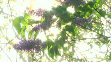 European purple lilac slowly moving in the wind with cool morning dew sprinkling behind it on sunbeams! — Stock Video
