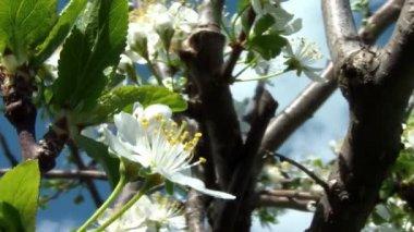 Cherry tree — Stock Video