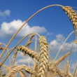 Wheat Close-up — Stock Video