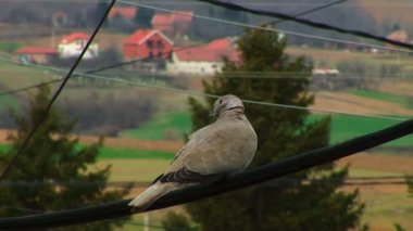 Turtledove standing on a wire — Stock Video