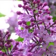 European purple lilac slowly moving — Stock Video