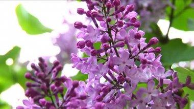 European purple lilac slowly moving — Stock Video