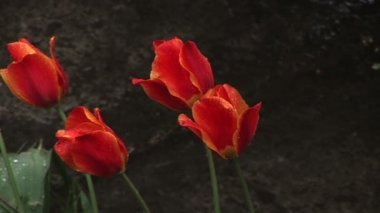 Spring rain and four red tulips — Stock Video