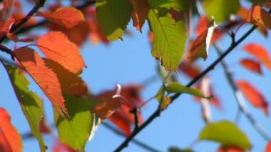 Autumn - beautiful and colorful leaves — Stock Video