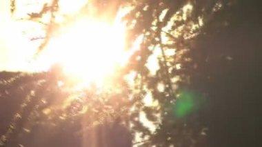 Pine tree silhouette - movement and sun glares — Stock Video