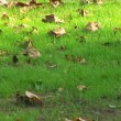 Close up of a colorful autumn leaves on green grass slowly moving in the wind — Stock Video