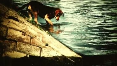 Dog in water grabbing - retro camera footage — Stock Video