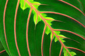 Maranta's leaf — Stock Photo