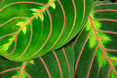 Maranta — Stock Photo