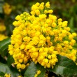 Mahonia aquifolium - Stock Photo