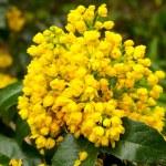 Mahonia aquifolium — Stock Photo