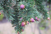 Picea omorika — Stock Photo