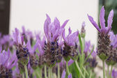 Lavender flowers with ant — Stock Photo