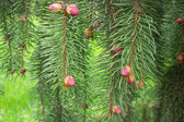 Spring Picea omorika — Stock Photo
