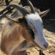 Domestic goat — Stock Photo #31212977