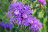 Centaurea — Stock Photo