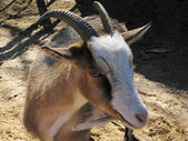 Domestic goat — Stock Photo