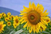 Flower sunflower close-up — Stock Photo