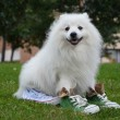 Japanese Spitz in sports shoes — Stock Photo #31882739