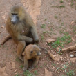 Cub and female monkeys in the park — Foto Stock