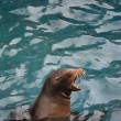 Screaming sea lion — Stock Photo