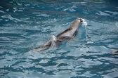 Floating sea lion — Stock Photo