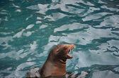 Screaming sea lion — Stock Photo