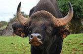Buffalo closeup  — ストック写真
