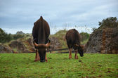 Female and calf buffalo grazing  — Stock Photo