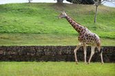 Giraffe on nature background — Stock Photo