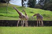 Three giraffes on nature background  — Stock Photo