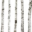 Birch trunks isolated on white background — Stock Photo #50639957