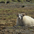 Sheep at Iceland — Stock Photo