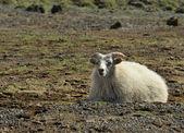 Sheep at Iceland — Stock Photo