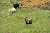 Owiec w górach — Zdjęcie stockowe
