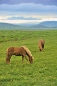 Two horses at the meadow — Stock Photo