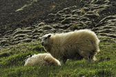 Sheep at the mountains — Stock Photo