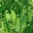 Stock Photo: Brushwood of fern lookin like