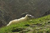 在山的羊 — 图库照片