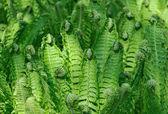 Brushwood of the fern lookin like — Stock Photo