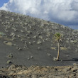 Palm tree at volcanic mountain at Timanfaya National Park, Lanza - Stock Photo