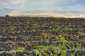 Vineyards at La Geria Valley, Lanzarote Island, Canary Islands, — Stock Photo
