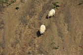 Sheeps at the mountains — Stock Photo