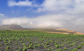 Potato field at black volcanic sand — Stock Photo