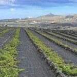 Vineyards at La Geria Valley, Lanzarote Island, Canary Islands, — Stock Photo #23363644
